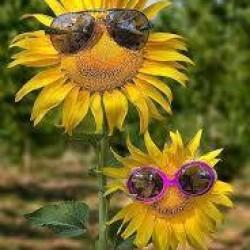 Sunflowers From Knocknacarra Florists